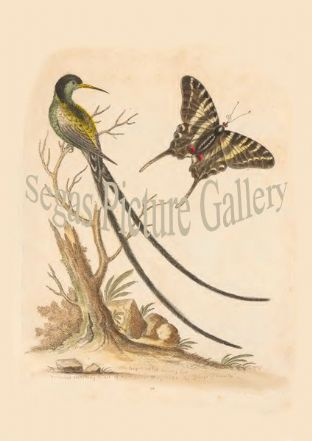 Humming Bird, Long-Tailed Black-Cap. Dusky Yellow Swallow-Tailed Butterfly.